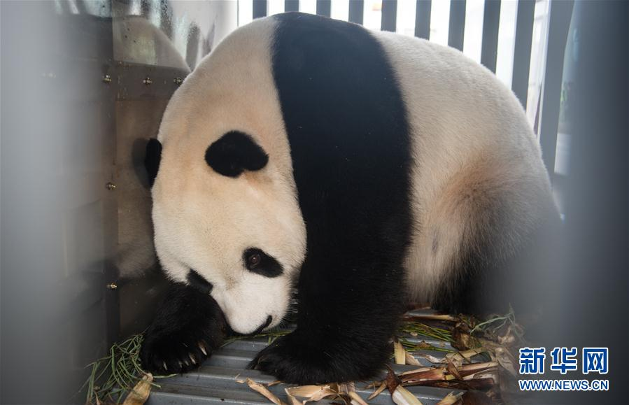 Chinese giant panda ready for public expose in Indonesia