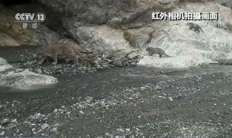 Snow leopards spotted in Northwest China nature reserve