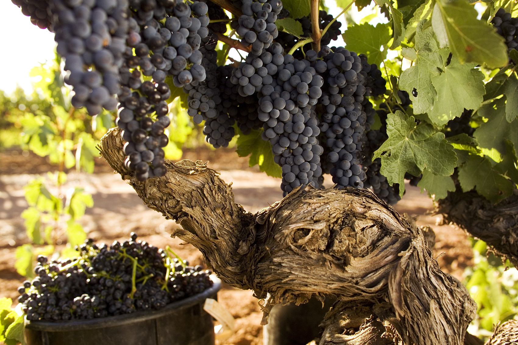 Australian wine giant pledges to ramp up Chinese expansion