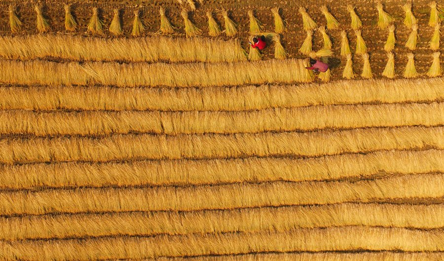 Increased carbon dioxide may make rice less nutritious: study