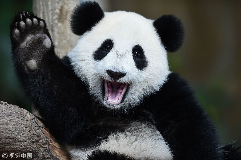 Say hello to the second giant panda born in Malaysia