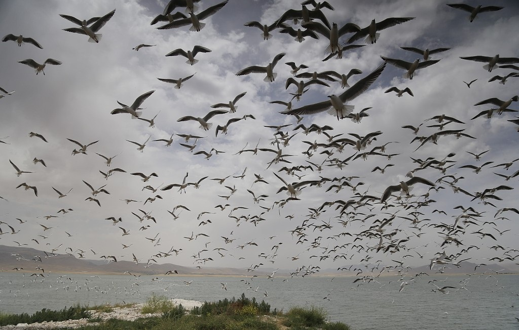 Seagulls in the middle of Dukan Dam for spawning period
