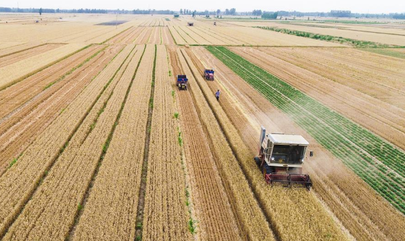 Farmers harvest wheat in China's Hebei