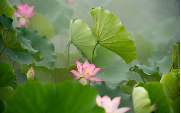 Lotus flowers seen in Macao, south China