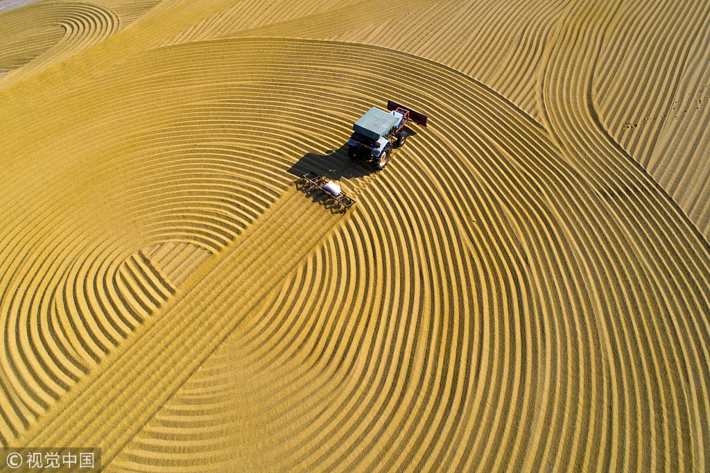 Scientist expects 50% of wheat farmers to use hybrid variety