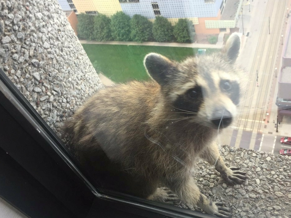 Raccoon set free after scaling 25-story US skyscraper