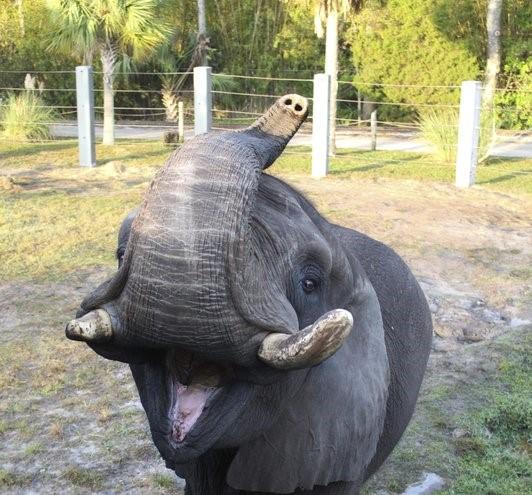 Michael Jackson's elephant escapes enclosure at Florida zoo
