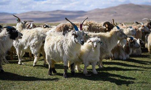 Herdsmen shear goats in Xigaze, Tibet