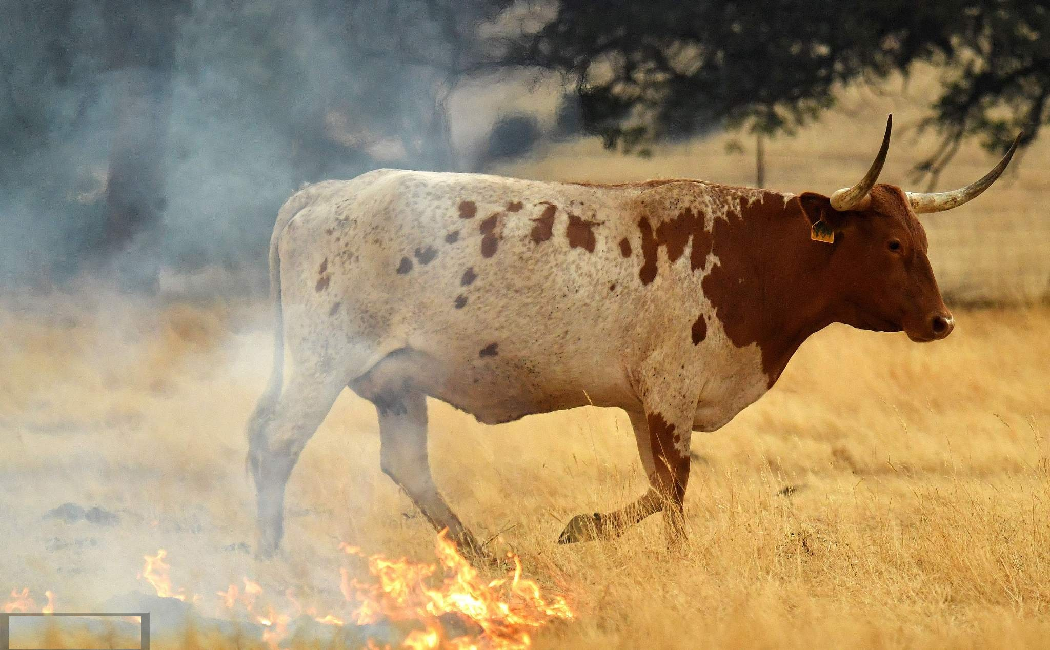Cows trot through a burning pasture in California