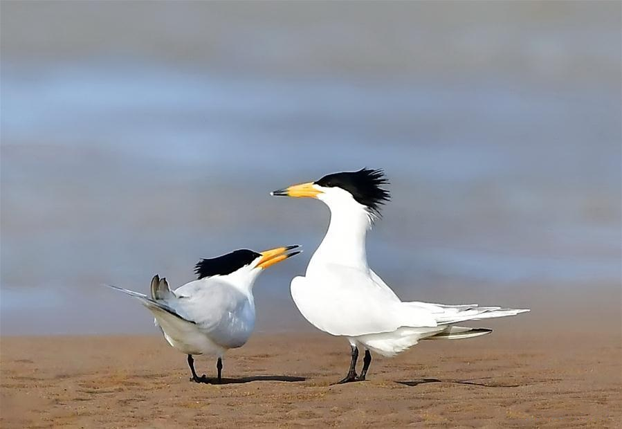 Chinese crested terns seen in SE China's Fujian