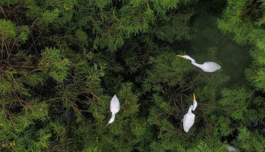 Dahantang Reservoir in China's Anhui habitat for thousands of egrets