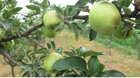 Fruitful gains: Growing rich from apples in rural Shanxi