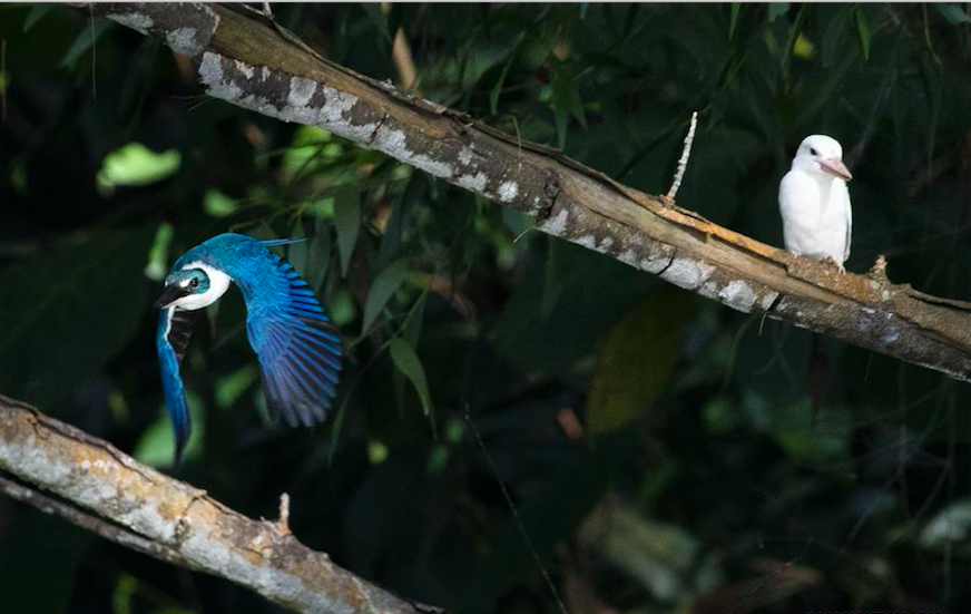 Rare albino white-collared kingfisher spotted in Singapore