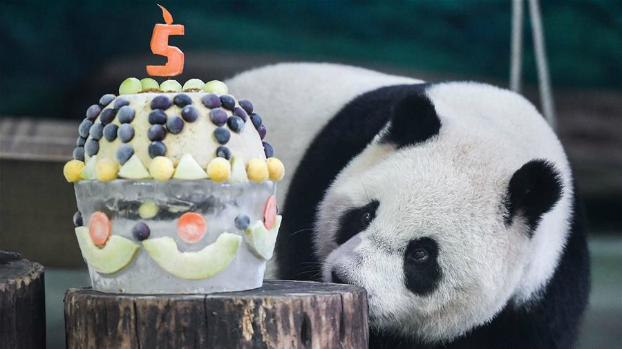 "Giant panda ""Yuan Zai"" celebrates 5th birthday at Taipei Zoo"
