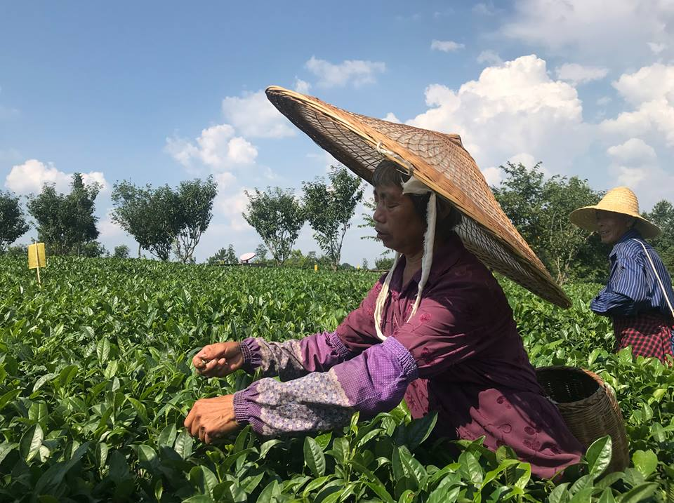 Stories Tea industry transforms small town into regional economic engine
