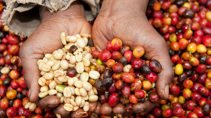 Rwanda: Coffee seeds help heal the wound