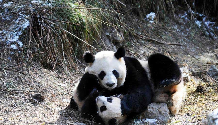 Contest to name four male panda cubs launched
