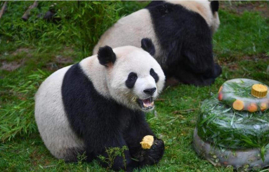 Fans celebrate panda Mao Zhu's 4th birthday