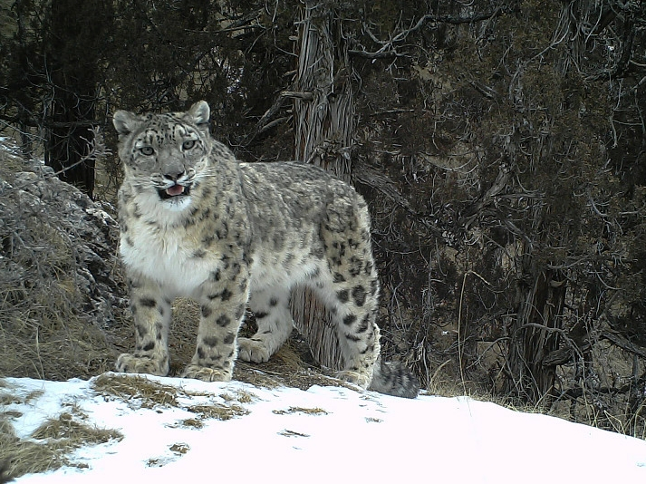 Herders on the frontline in protecting snow leopard