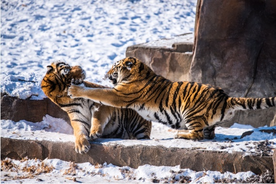 China to restore Siberian tiger population from captive-bred stock