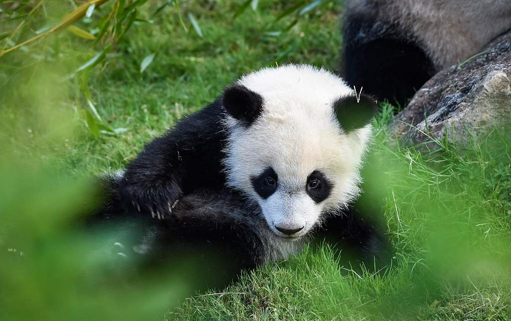 Yuan Meng, the panda baby celebrates its first birthday in France