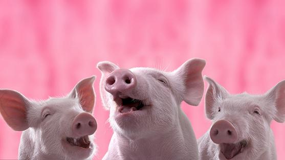 China's Year of the Pig zodiac stamp starts printing