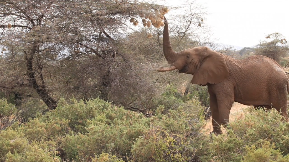 A change of taste? Elephants eat bird nests containing live chicks and eggs