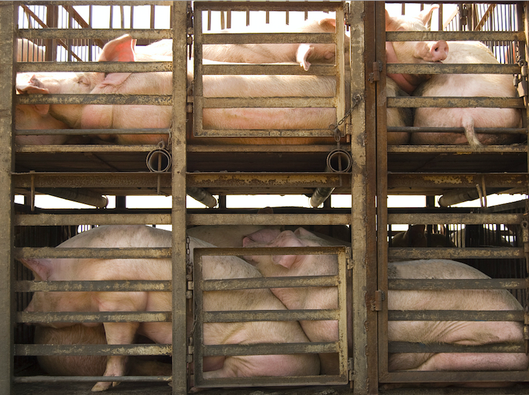 Henan Province reports outbreak of African swine fever