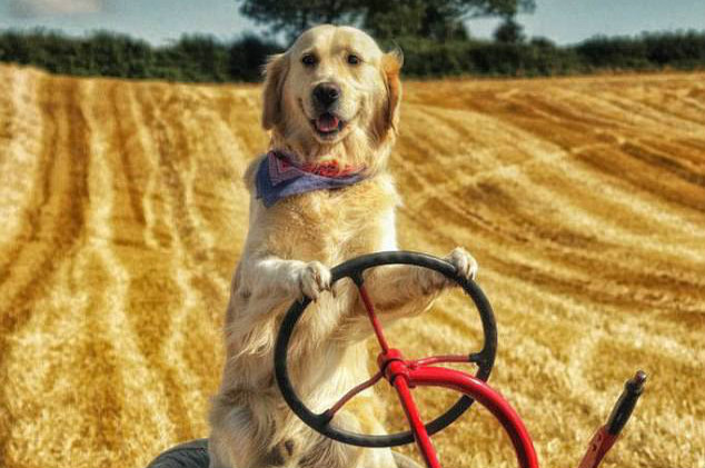 A golden retriever shows off his amazing TRACTOR DRIVING skills