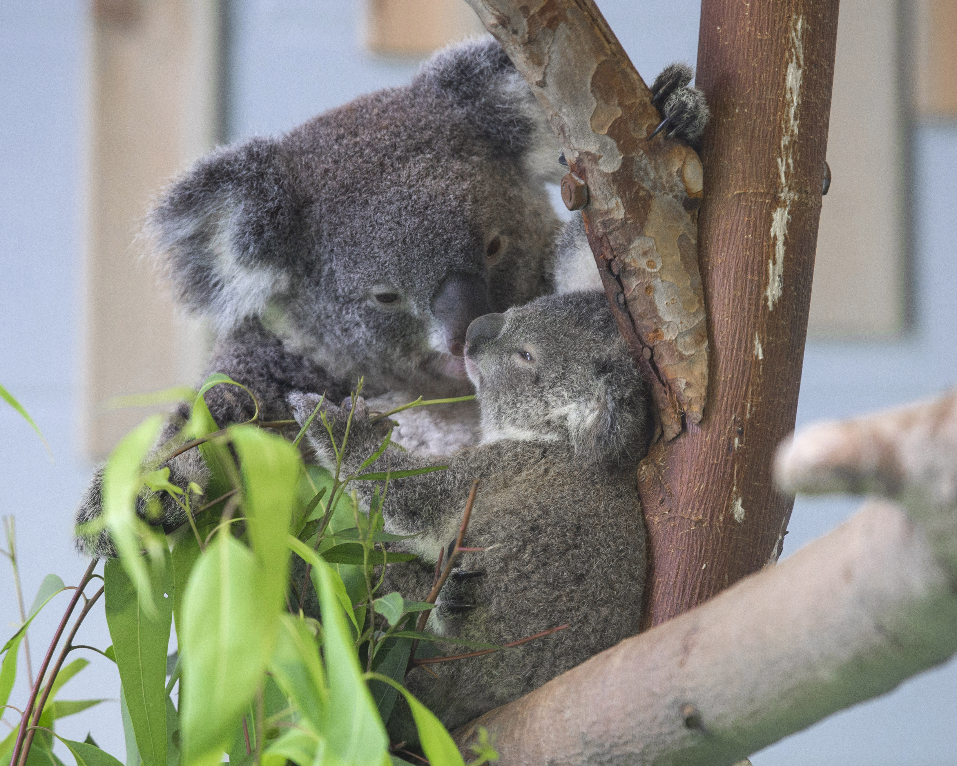 Newborn koala meet visitors in Nanjing