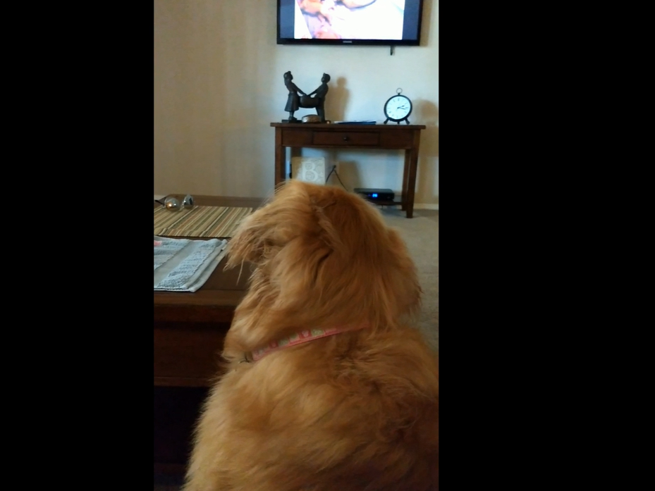 This is what happens when a gold retriver hears puppies crying on TV