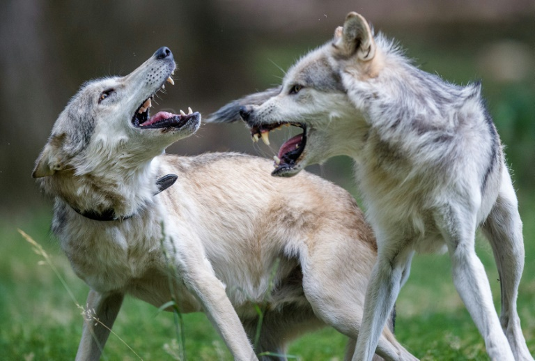 Austria allows shooting wolves with rubber bullets