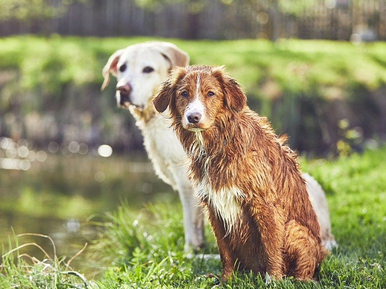 The blind spaniel has his own guid dog