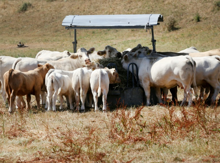 No grass': Europe's livestock sector stricken by drought