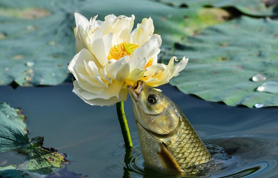 Carp eats lotus flower in Beijing pond
