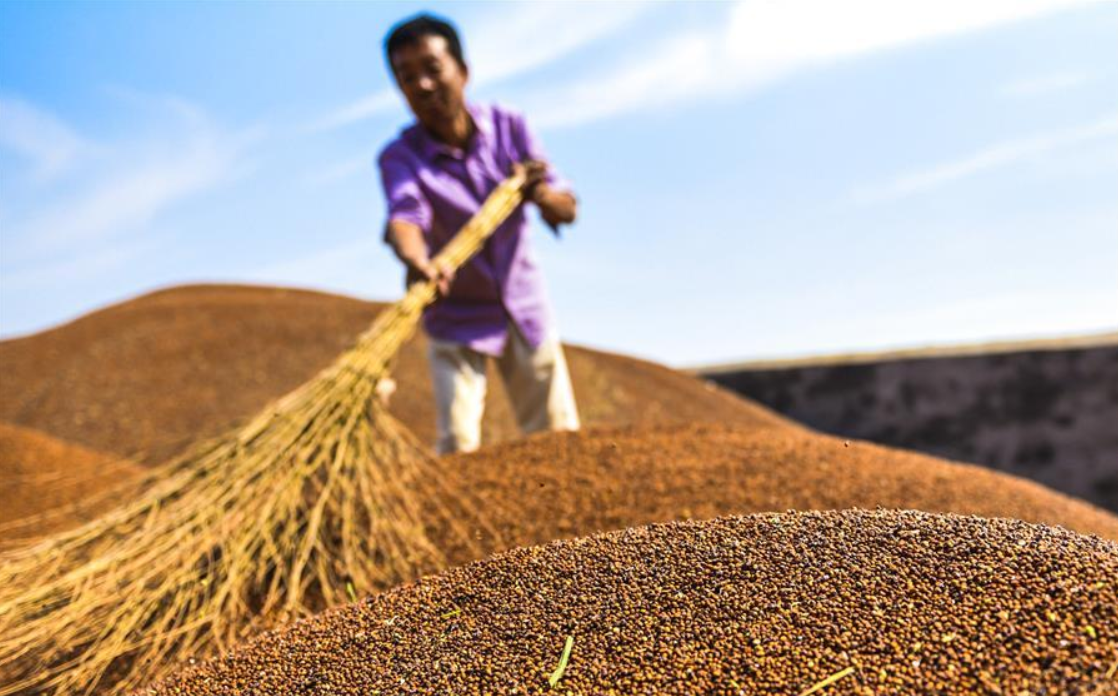 Villagers harvest sorghum in Xizhaozhuang Village, N China's Hebei