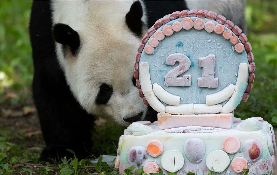 Giant panda Tian Tian celebrates 21st birthday in US