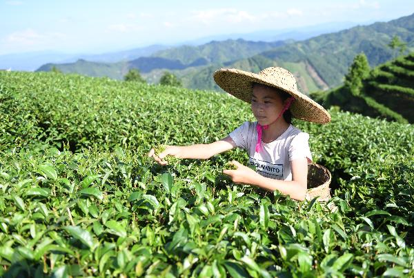 Guizhou seeks to become China's largest tea exporter by 2020