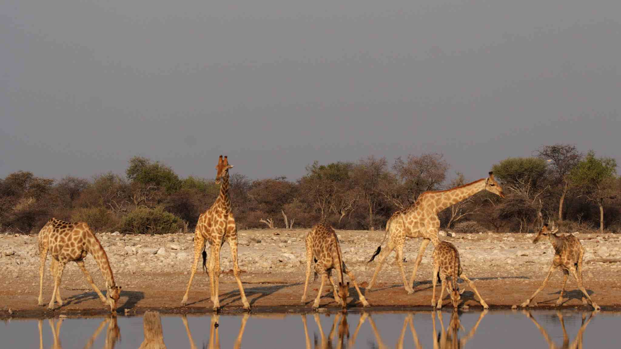 Investigation uncovers thriving giraffe parts market in US
