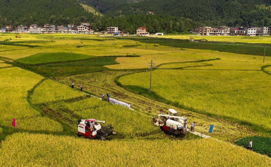 Farmers harvest rice in Pujue Town, SW China's Guizhou