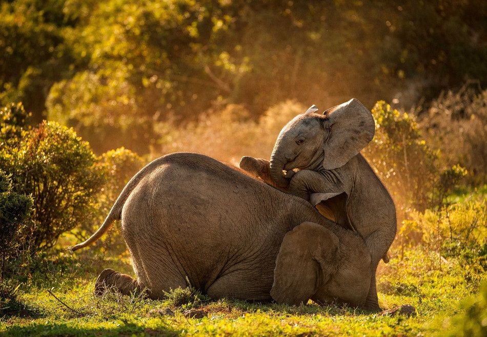 Two elephants play together in Africa