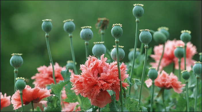 Scientists map out opium poppy genome