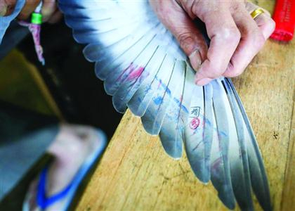Investigation finds pigeon racing champs won by smuggling birds on high-speed trains