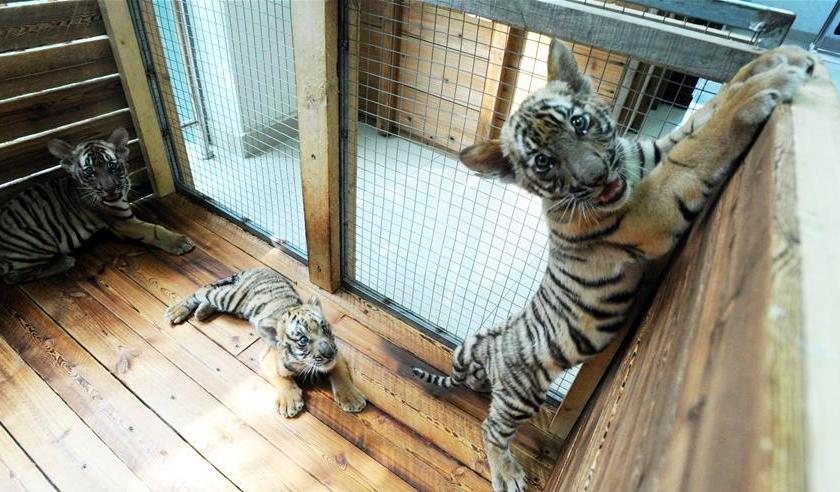 Three South China Tiger cubs play at breeding base in Suzhou, east China
