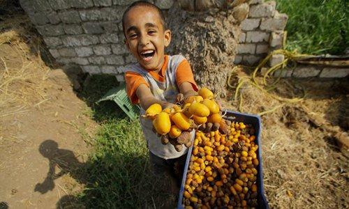 Harvest season for dates starts in Egypt