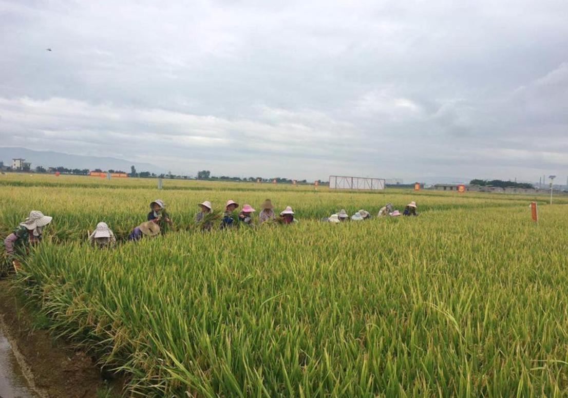 China's super hybrid rice output sets new world record
