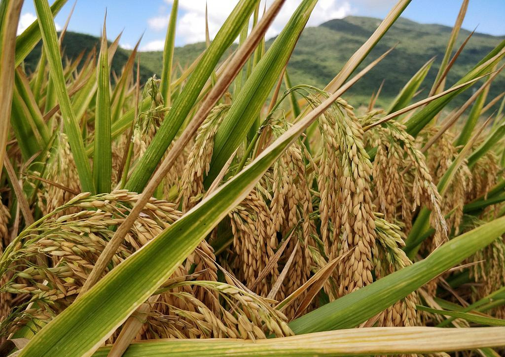 China's hybrid rice helps relieve Africa's grain problems