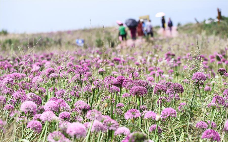 Blooming wild chive flowers attract tourists in SW China's Guizhou