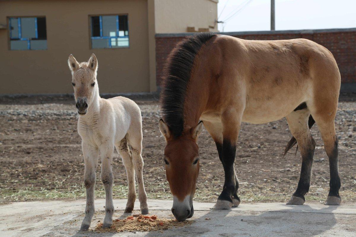 Rare wild horse population breaks 400 in Xinjiang