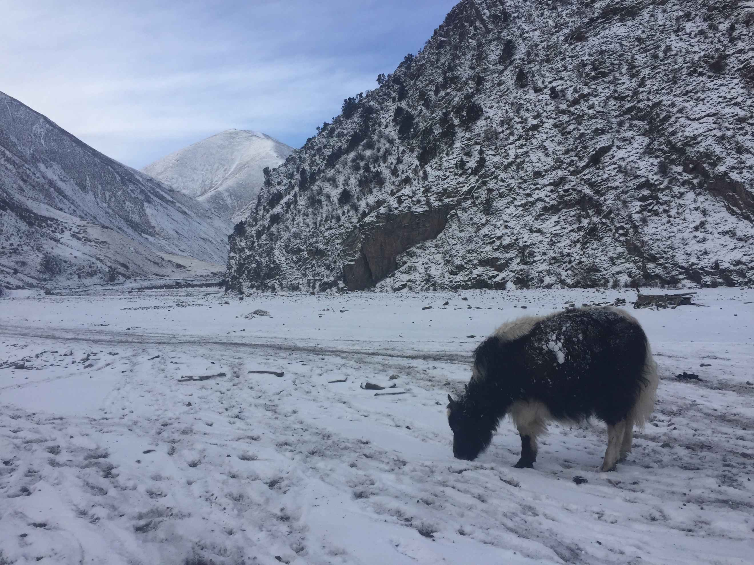 From rags to riches: Yaks help Tibetans battle poverty
